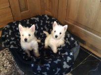 Gražūs Vakarų Škotijos šuniukai,