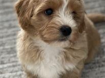 Maltipoo šuniukas