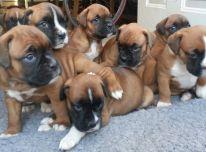 Boksininkas šuniukai