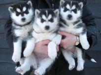 Sibiro haskiukas šuniukai