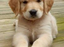 Auksaspalvis retriveris šuniukai