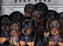 Dobermanu veisles šuniukai
