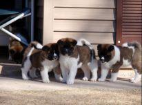 Akita-inu Šuniukai