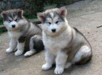 Aliaskos malamutas Šuniukai