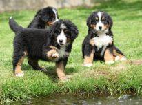 Berno kalnų šuniukai