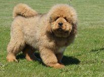 Parduodami Tibeto Mastifo veislės šuniukai
