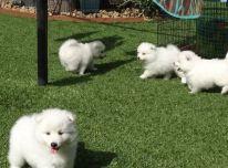 Japonų špicų šuniukai