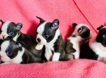 Galima įsigyti gražių Bostono terjero šuniukų patinų ir patelių.
