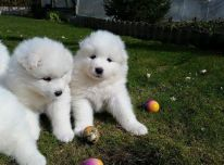 Parduodami gražūs samojedų šuniukai
