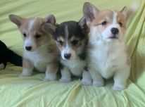 """Žavingi """"Pembroke Welsh Corgi"""" šuniukai."""