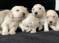 Parduodami gerai atrodantys auksaspalvių retriverių šuniukai