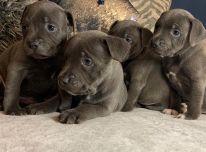 Nuostabūs Stafordšyro terjero šuniukai