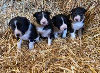 Gorgous borderkolio šuniukai