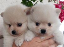 Parduodami žavingi vokiečių špicų šuniukai.