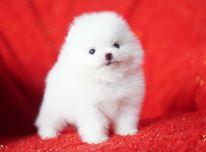 Paruoštas Pomeranijos šuniukas
