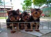 Jorkšyro šuniukai paruošti