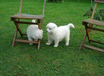 Samojedų šuniukai