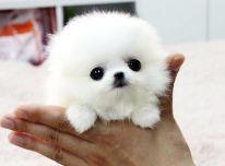 Galimi gražūs Pomeranijos šuniukai