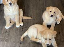 Galimi auksaspalvių retriverių šuniukai
