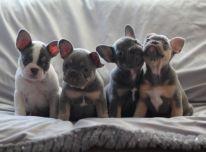 Meilūs prancūzų buldogų šuniukai, skirti grįžti į namus