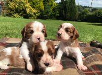 Parduodami 4 puikūs kavalieriaus karaliaus Karolio spanielio šuniukai