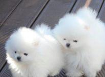 Pomeranijos šuniukai