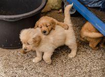 Auksaspalvių retriverių šuniukai