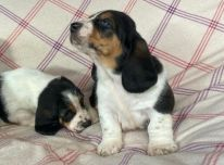 Basset Hound šuniukai.