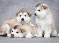 Aliaskos malamutų šuniukai.