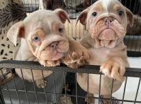 Avialable EnglishBulldogs