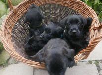 Parduodami puikūs škotų terjerų šuniukai.