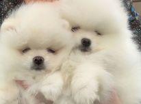"""Galimi """"Beautifu Pomeranian"""" šuniukai"""