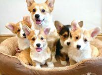 "Pembroke Welsh Cork"" šuniukai"
