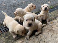 Labradoro retriverių jaunikliai