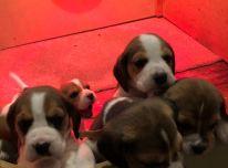 Gražūs biglio šuniukai