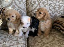 Cavapoo šuniukai