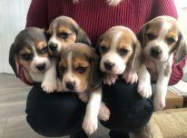 Beagle šuniukai.
