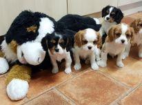 Cavalier King Charles šuniukai.