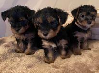 Gražios Jorkšyro šuniukai