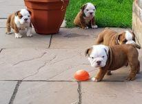 Anglų Bulldog šuniukai.