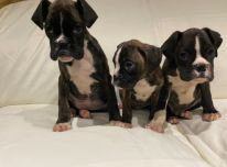 """""""Boxer Puppies Avialable""""."""