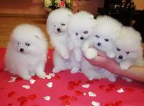 """Galimi gražūs """"Pomeranain"""" šuniukai."""