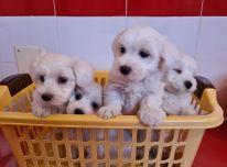 Maltiečių šuniukai ieško naujų namų.