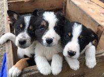 Parduodami borderkolio šuniukai.