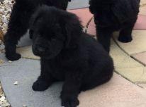Parduodami gražūs Niufaundlando šuniukai