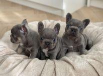 Nuostabūs prancūzų buldogo šuniukai