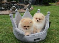 Gražūs Pomeranijos šuniukai