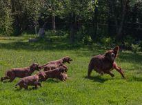 Gražūs airių seterio šuniukai