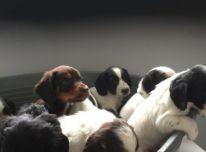 Žavingi Amerikos kokerspanielio šuniukai