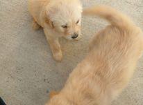 Mieli auksaspalvių retriverių šuniukai